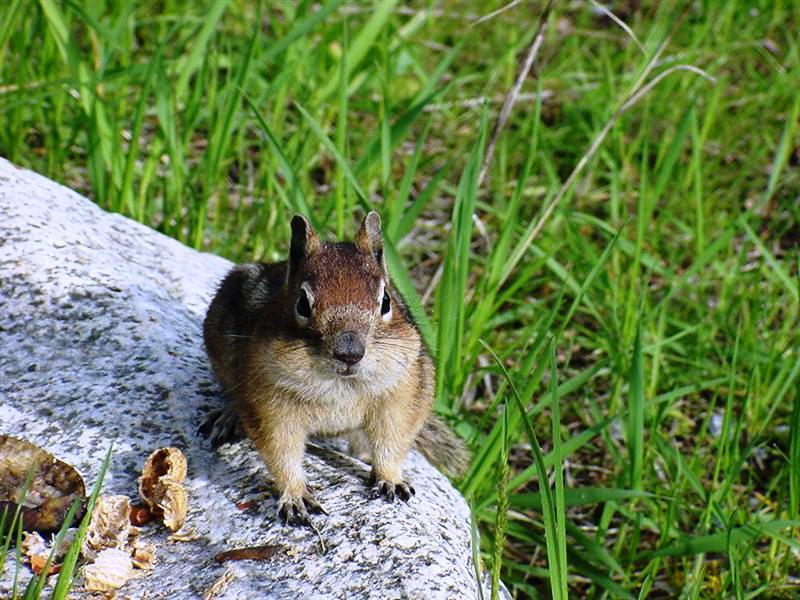 Pine Squirrel Buddy full of Peanuts