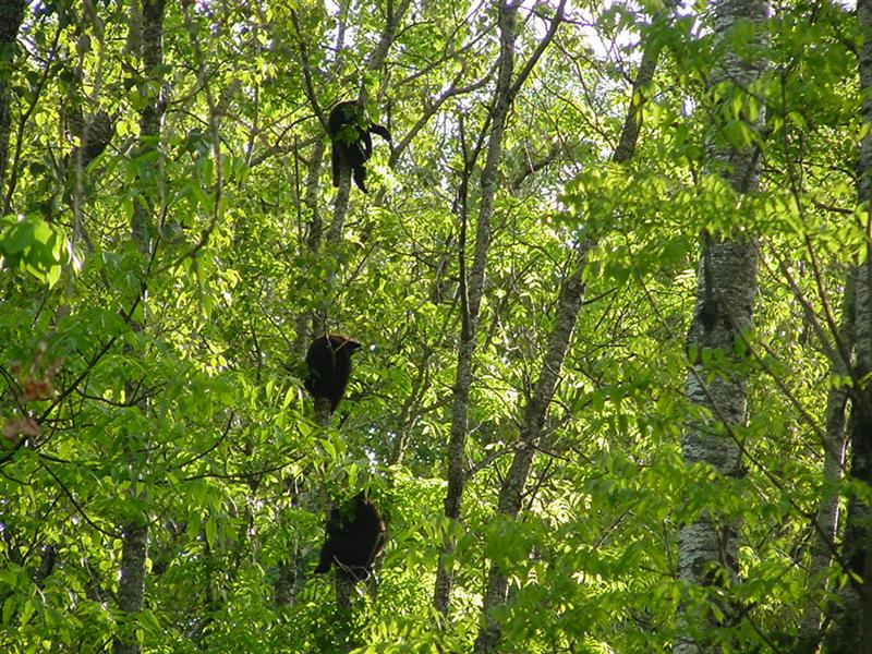 three cubs up a tree
