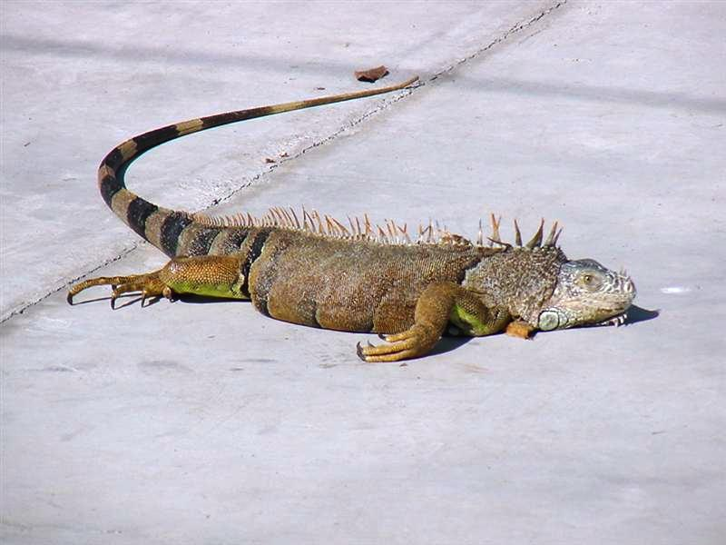 Recovering Iguana