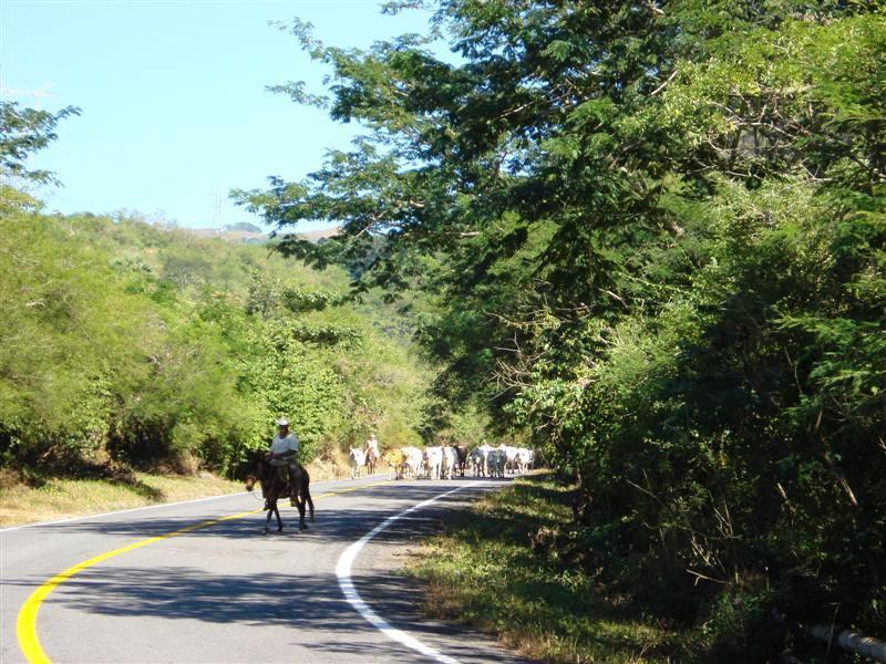 herding cows 2