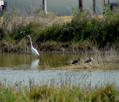 Egret and Friends enjoying Texas